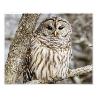 Barred Owl in a Tree Photo Print