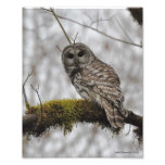 Barred Owl in Big Leaf Maple Photographic Print