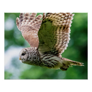 Barred Owl in flight Poster