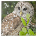 Barred Owl Large Square Tile