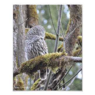 Barred Owl on a Mossy Branch Photo