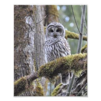 Barred Owl on a Mossy Tree Art Photo