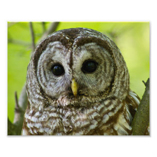 Barred Owl Portrait. Photo Art