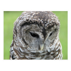 Barred Owl Portrait Postcard