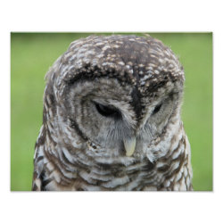 Barred Owl Portrait Poster
