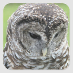 Square Sticker with Barred Owl Portraits design