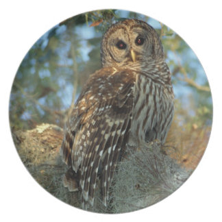 Barred Owl roosting in some Spanish Moss Dinner Plate