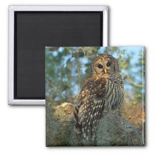 Barred Owl roosting in some Spanish Moss Refrigerator Magnet