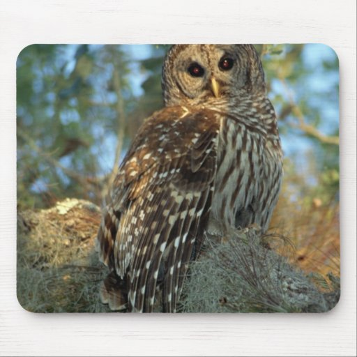 Barred Owl roosting in some Spanish Moss Mousepads