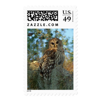 Barred Owl roosting in some Spanish Moss Postage Stamps