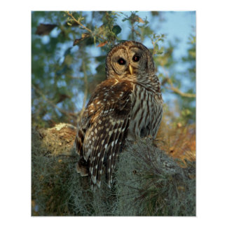 Barred Owl roosting in some Spanish Moss Poster