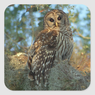 Barred Owl roosting in some Spanish Moss Square Sticker