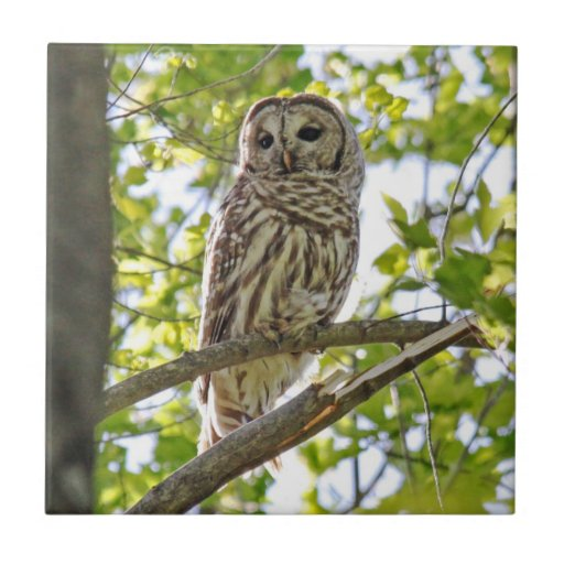 Barred Owl Small Square Tile