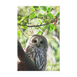 Barred Owl Staring Canvas Prints