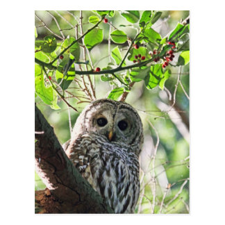 Barred Owl Staring Postcard
