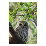 Barred Owl Staring Posters