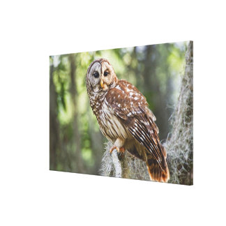 Barred Owl (Strix varia), adult in old growth Canvas Print