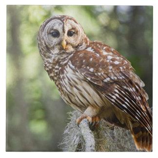 Barred Owl (Strix varia), adult in old growth Ceramic Tile