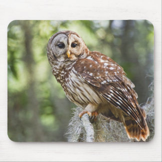 Barred Owl (Strix varia), adult in old growth Mouse Pad