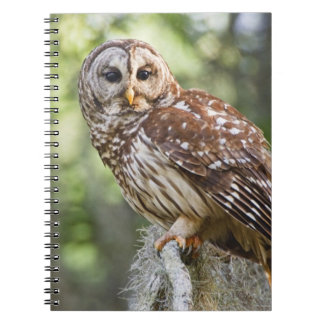 Barred Owl (Strix varia), adult in old growth Notebook