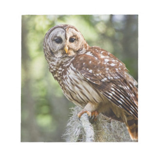 Barred Owl (Strix varia), adult in old growth Notepad