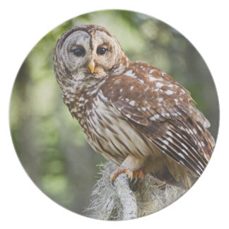 Barred Owl (Strix varia), adult in old growth Plate