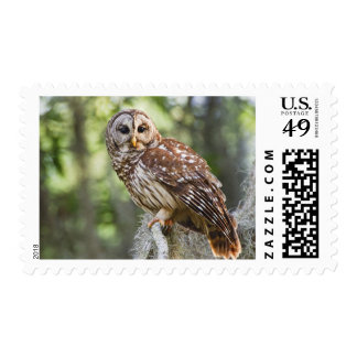 Barred Owl (Strix varia), adult in old growth Stamps