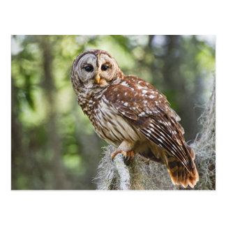Barred Owl (Strix varia), adult in old growth Postcard