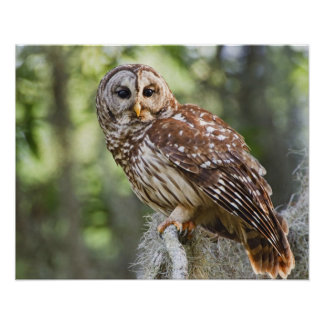 Barred Owl (Strix varia), adult in old growth Poster