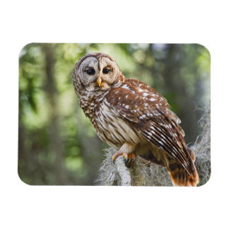 Barred Owl (Strix varia), adult in old growth Rectangular Photo Magnet