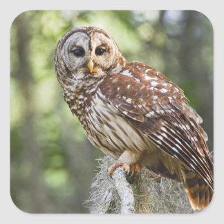 Barred Owl (Strix varia), adult in old growth Square Sticker