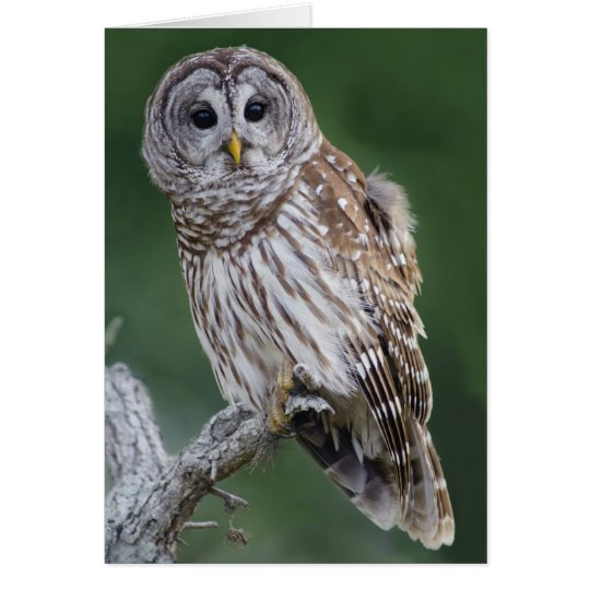 Barred Owl (Strix varia) Card