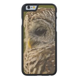 Barred Owl, Strix varia, Michigan Carved Maple iPhone 6 Slim Case