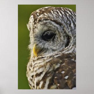 Barred Owl, Strix varia, Michigan Poster