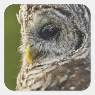 Barred Owl, Strix varia, Michigan Square Sticker