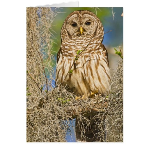 Barred Owl (Strix varia) perched in cypress tree Card