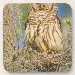 Barred Owl (Strix varia) perched in cypress tree Drink Coaster