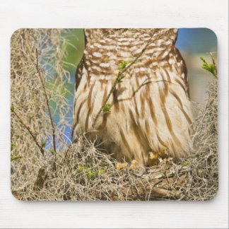 Barred Owl (Strix varia) perched in cypress tree Mouse Pad