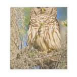 Barred Owl (Strix varia) perched in cypress tree Notepad