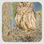 Barred Owl (Strix varia) perched in cypress tree Square Sticker