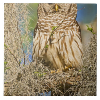 Barred Owl (Strix varia) perched in cypress tree Tile