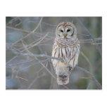 Barred Owl Strix Varia Postcard