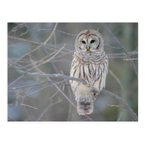 Barred Owl Strix Varia Postcard