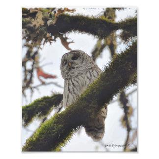 Barred Owl Winking Art Photo