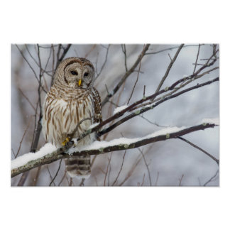 Barred Owl with a light snowfall Poster