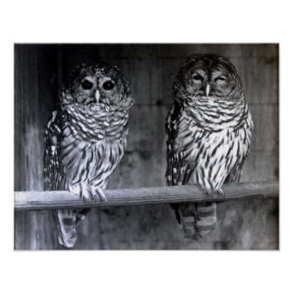 Barred Owls Poster