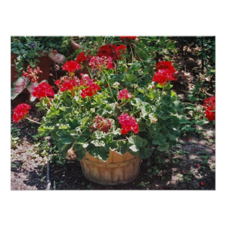 Barrel of geraniums poster