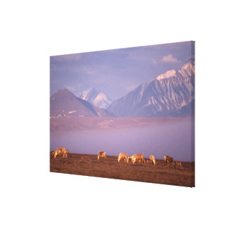 Barren ground caribou, Porcupine herd on calving Canvas Print