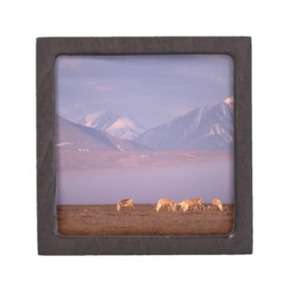 Barren ground caribou, Porcupine herd on calving Gift Box
