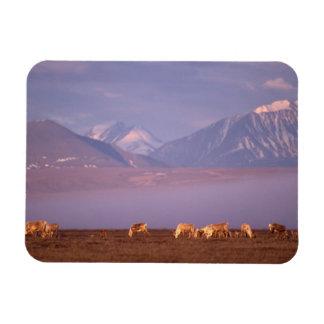 Barren ground caribou, Porcupine herd on calving Magnet